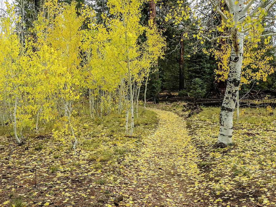 Fall Aspens Along Widforss Trail Grand Canyon by NaturesPix