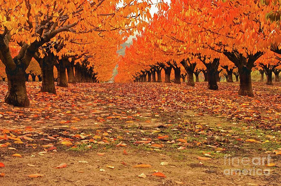 Fall Photograph - Fall Cherry Trees by Robert Abramson