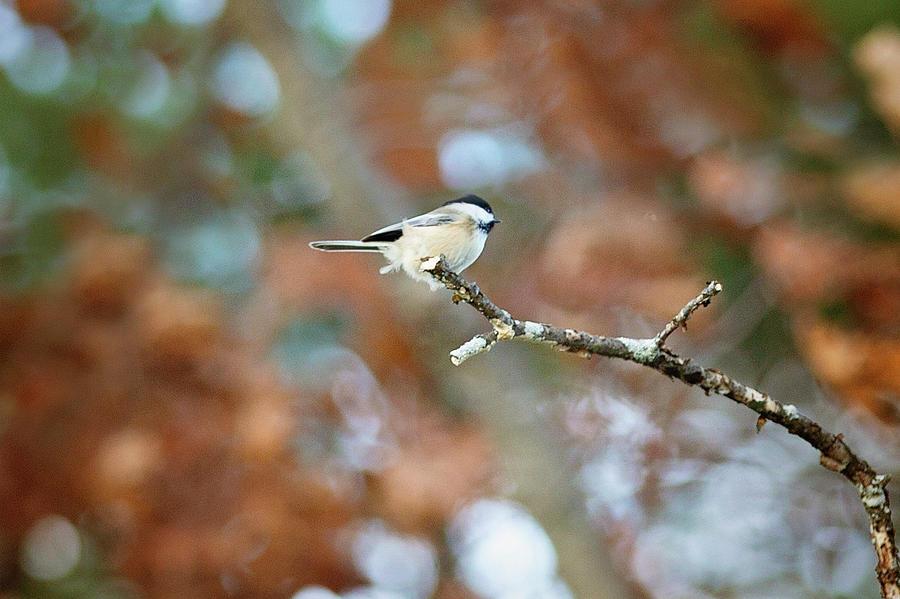 Fall Chickadee by Sue Collura
