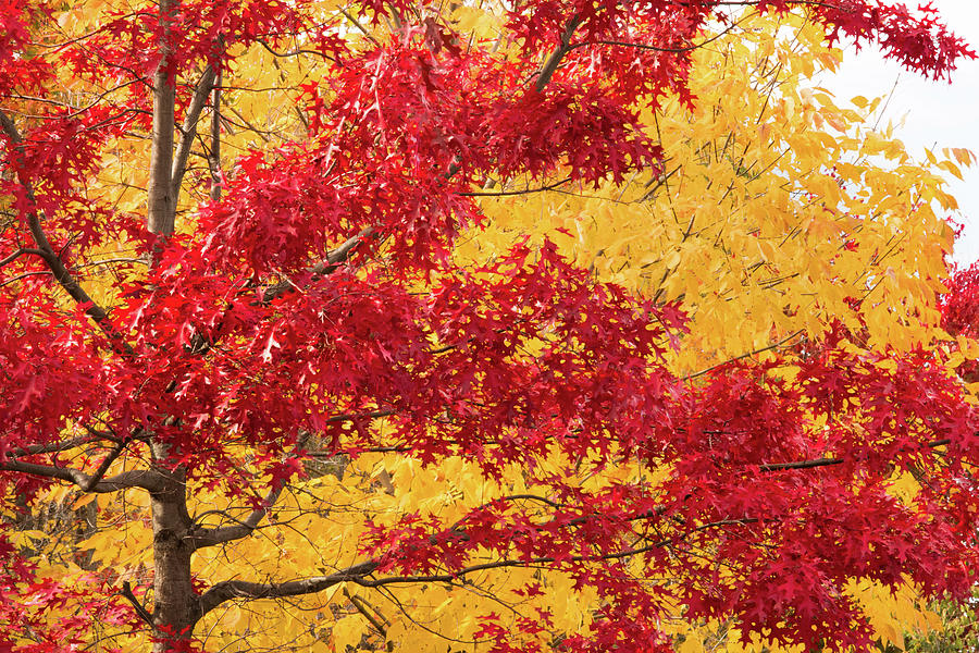 Fall foliage in Yellow and Red by Cristina Stefan