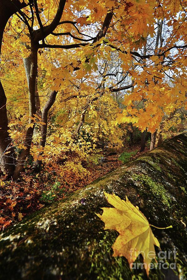 Fall Gold by Joseph Perno