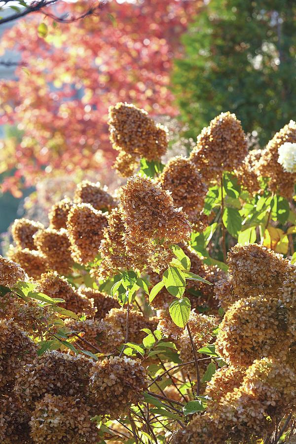 Fall Hydrangeas by Garden Gate magazine