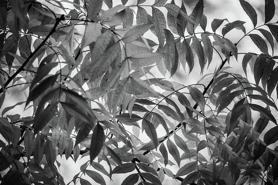 Fall Leaves in Black and White by Juliana Swenson