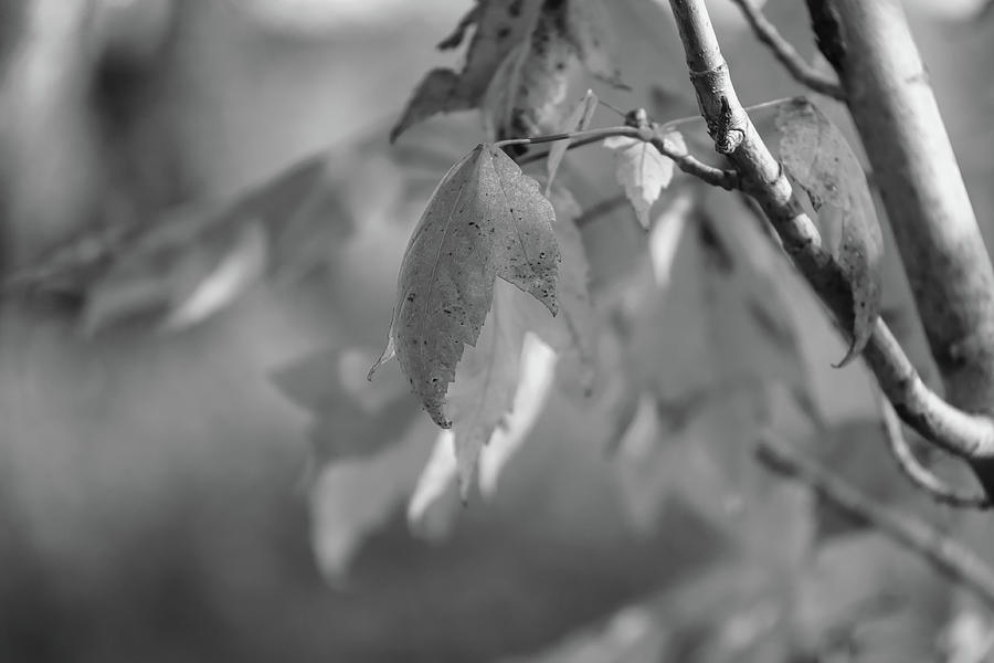 Fall Leaves In Black And White Photograph