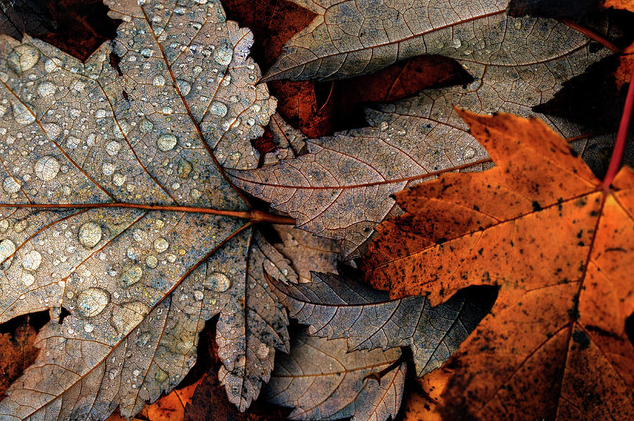 Fall Leaves Photograph by Martin Hardman