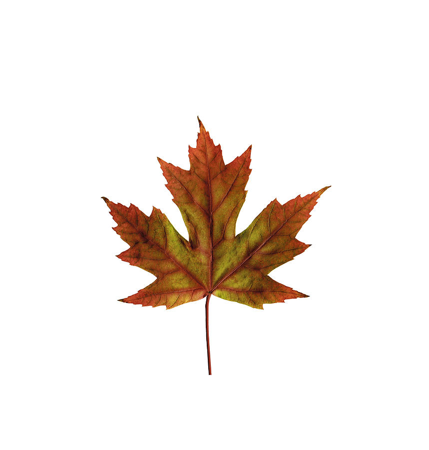 Fall Maple Leaf by Jeff Phillippi