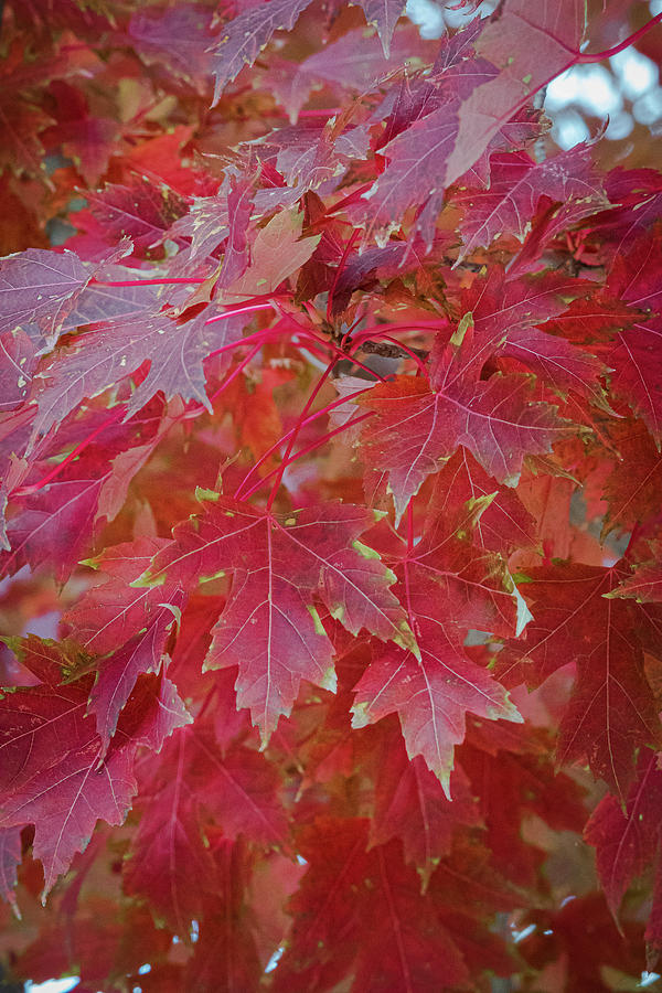 Fall Maples 1 by Gary Lengyel