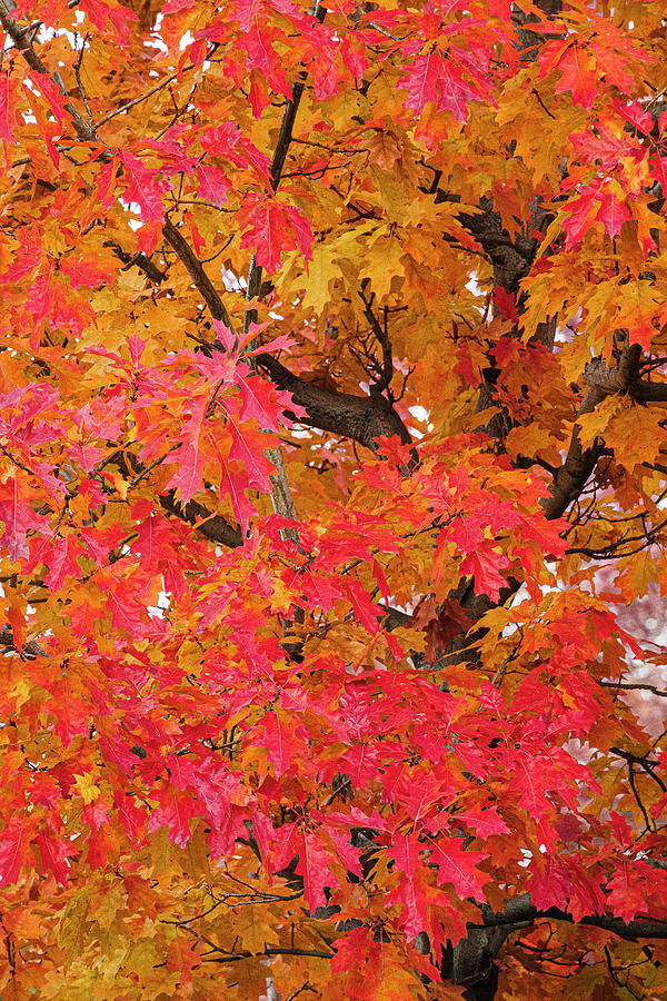 Fall Maples 2 by Gary Lengyel