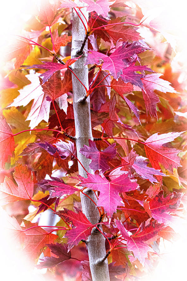 Fall Maples 3 by Gary Lengyel