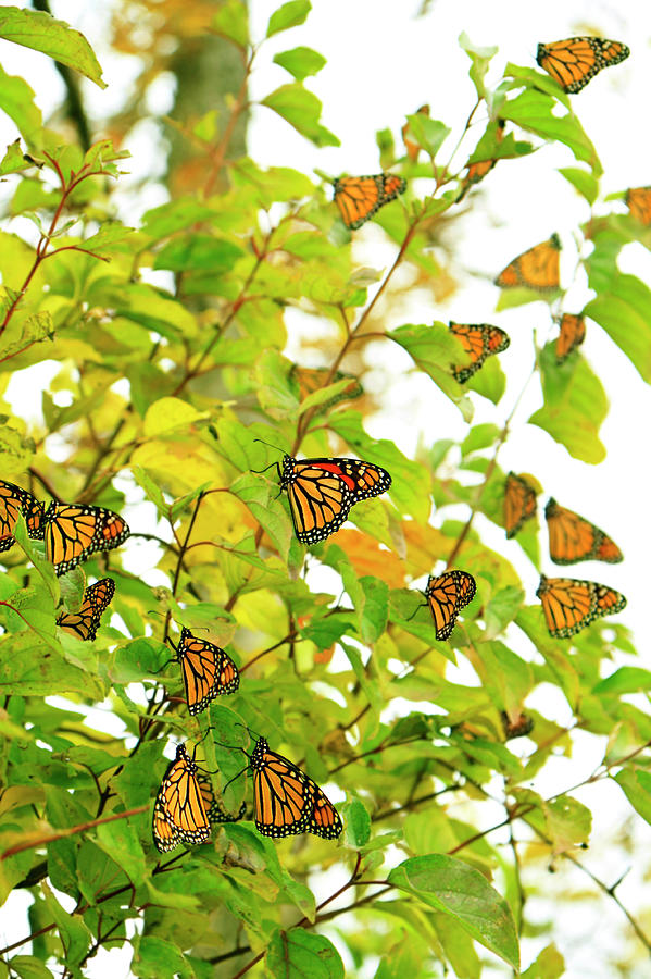 Fall Migrating Monarch Butterflies Photograph by Diane Labombarbe