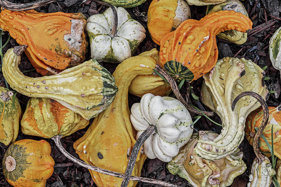Squash Photograph - Fall Squash by Randy Bayne