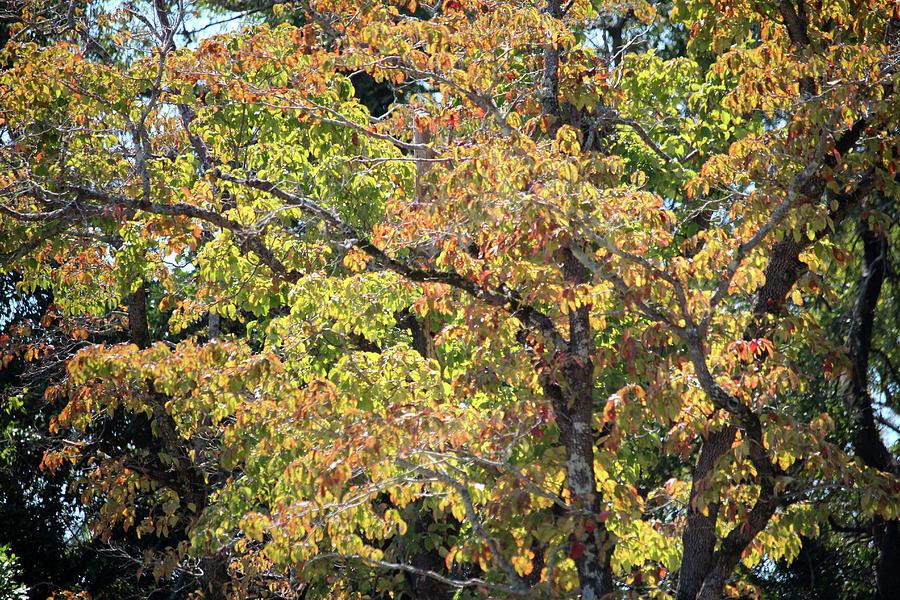Fall Tree Foliage  by Cynthia Guinn