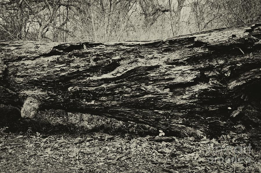 Fallen Giant Photograph