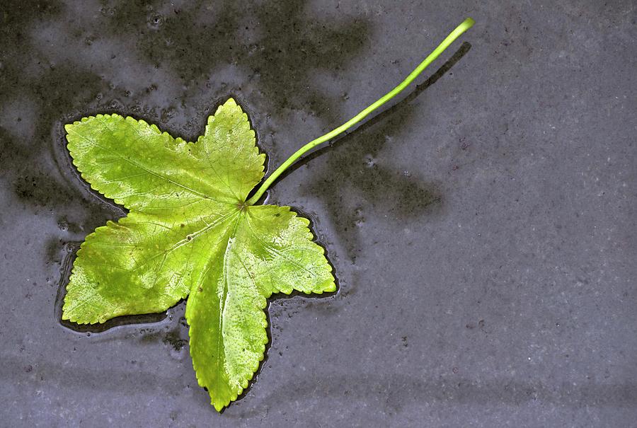 Fallen Leaf by Prakash Ghai