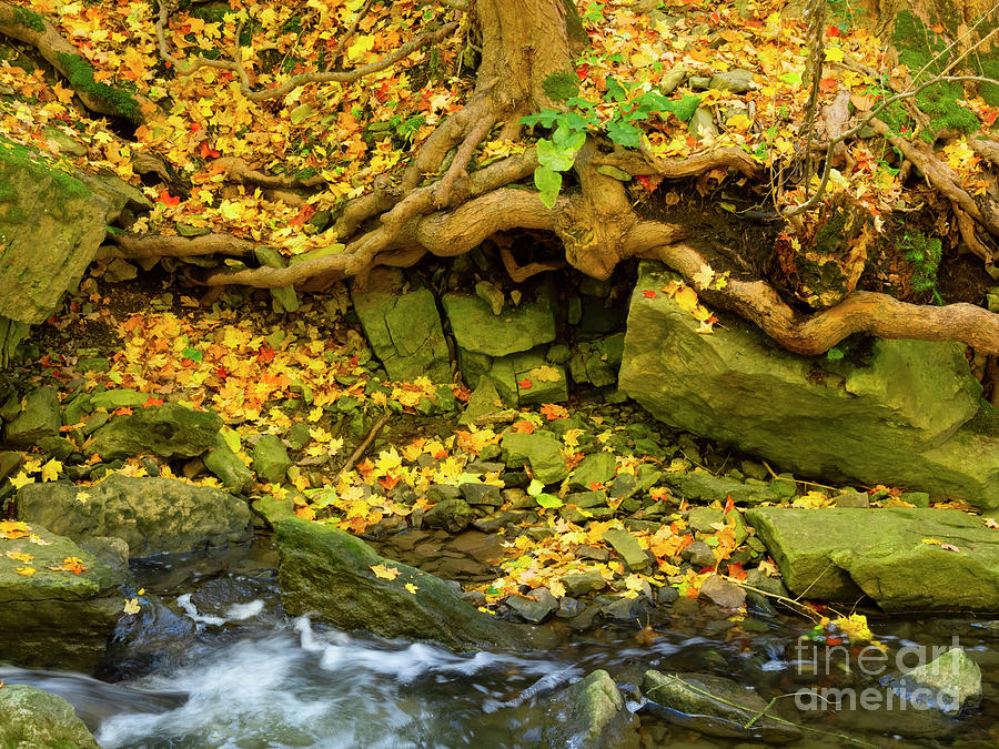 Fallen leaves and tree roots in Tiffany Creek Ancaster Ontario by Louise Heusinkveld
