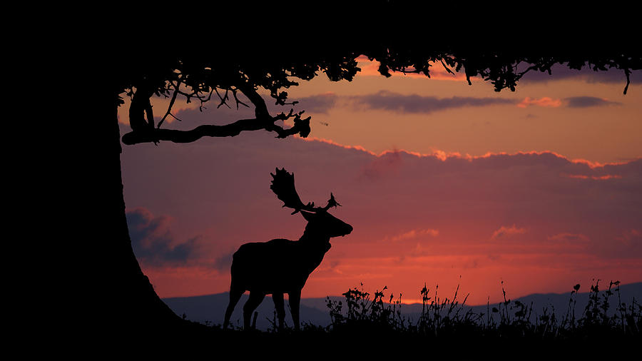 Deer Photograph - Fallow Stag At Sunset by Andy Beattie Photography