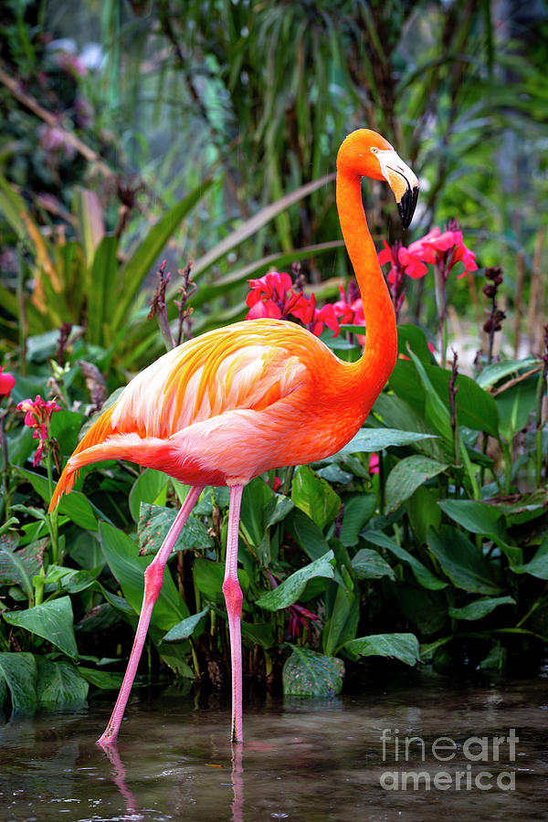 Flamingo IV by Brian Jannsen