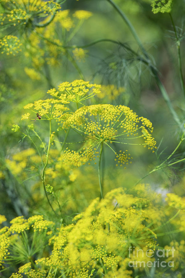 English Garden Photograph - False Fennel In Flower by Tim Gainey