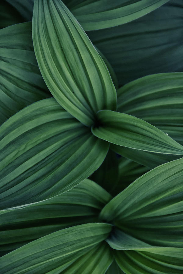 False Hellebore Plant Abstract by Nathan Bush