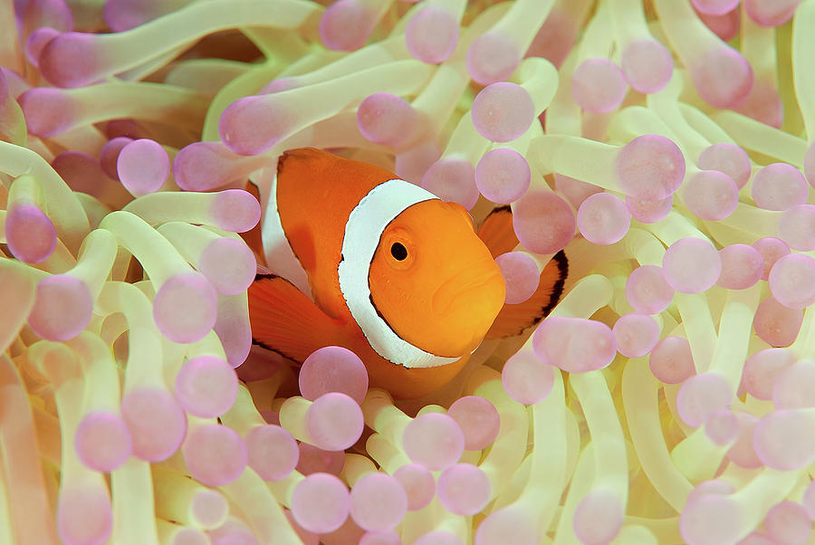 False Or Western Clown Anemonefish Photograph by Jones/shimlock-secret Sea Visions