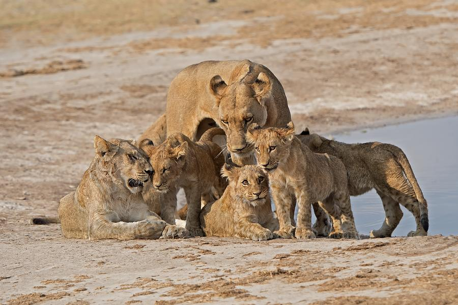 Lions Photograph - Family by Marco Pozzi