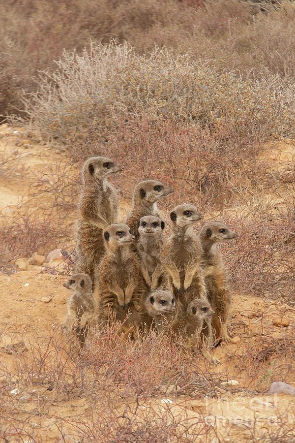 Family meerkat in the wild by Patricia Hofmeester