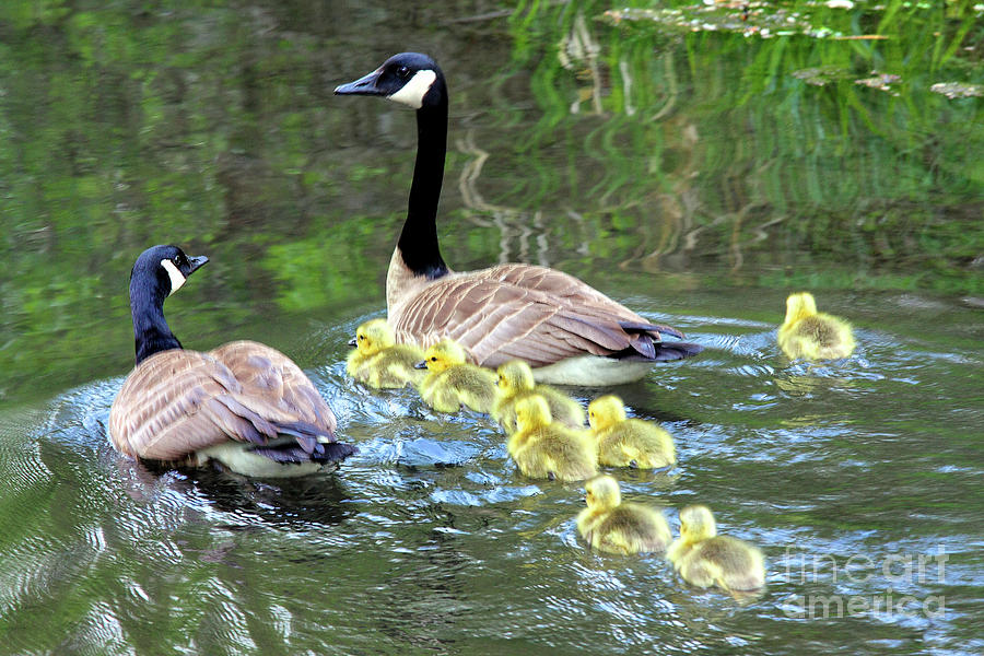 family of Canada geese in water swimming with eight goslings by Robert C Paulson Jr