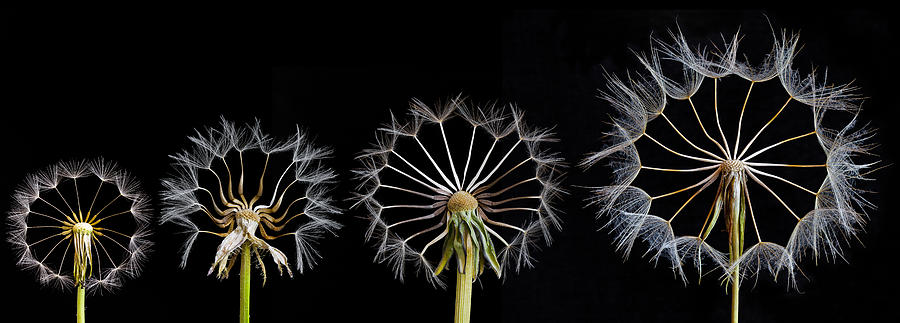 Dandelion Photograph - Family Portrait by Art Lionse