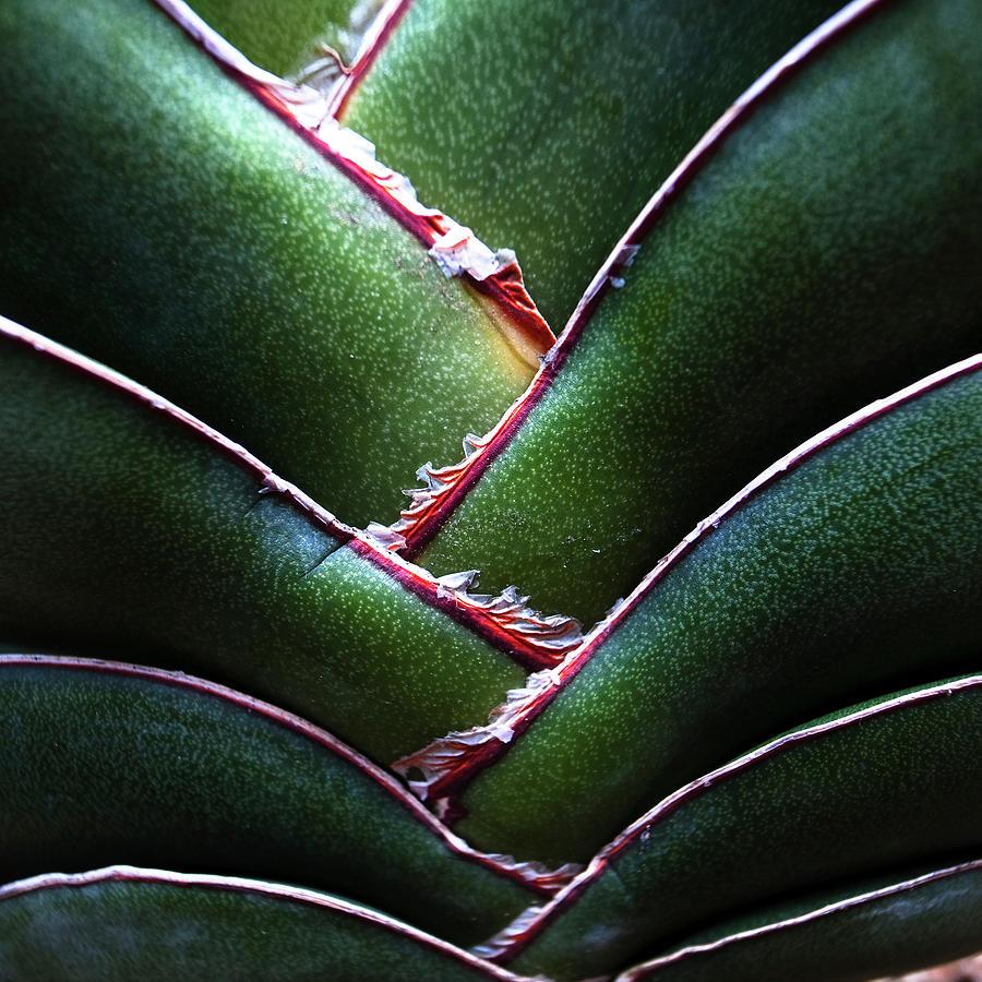 Fan Leave Succulent Plant Photograph by Tontygammy + Images