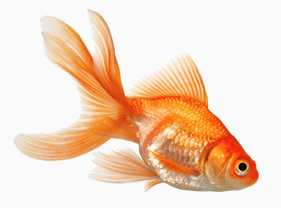 Fancy Goldfish Photograph by Don Farrall