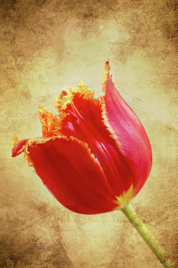 Fancy Red and Yellow Tulip by Trina Ansel