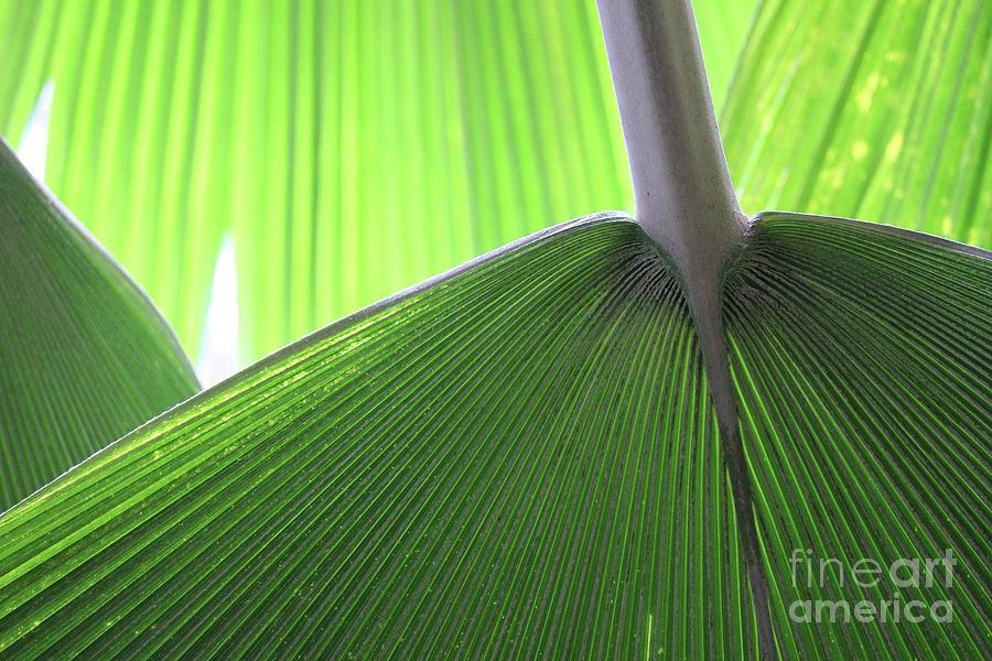 Palm Photograph - Fans Of Nature by Karen Adams
