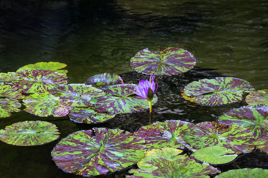 Fantabulously Purple - a Splendid Waterlily with Varicolored Leaves by Georgia Mizuleva