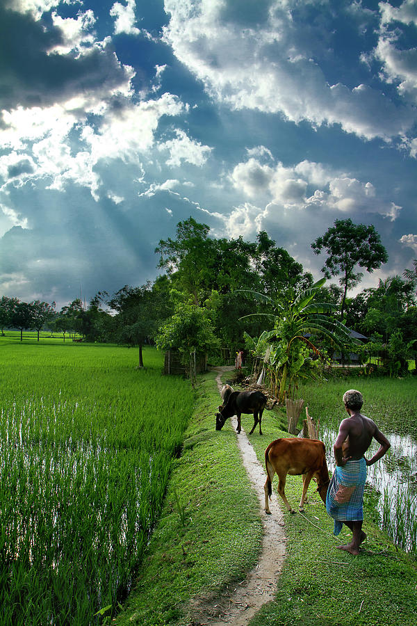 Farmer And His Livestock On Lush Green Photograph by Raqeebul Ketan