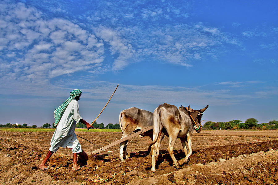 Farmer Ploughing With Bulls Photograph by Sm Rafiq Photography.