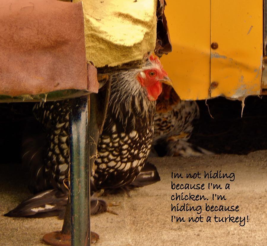 Farmyard Chicken Pet Photograph