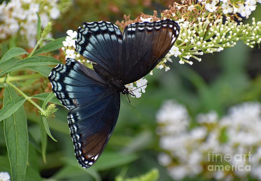 Artwork Photograph - Fascinating Red-spotted Purple by Cindy Treger
