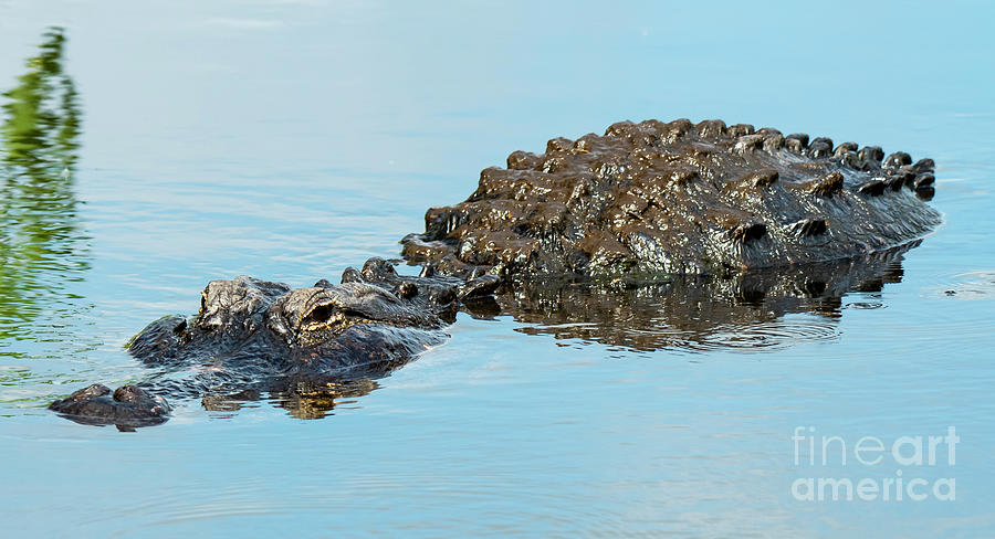 Fat American Alligator by Michael D Miller