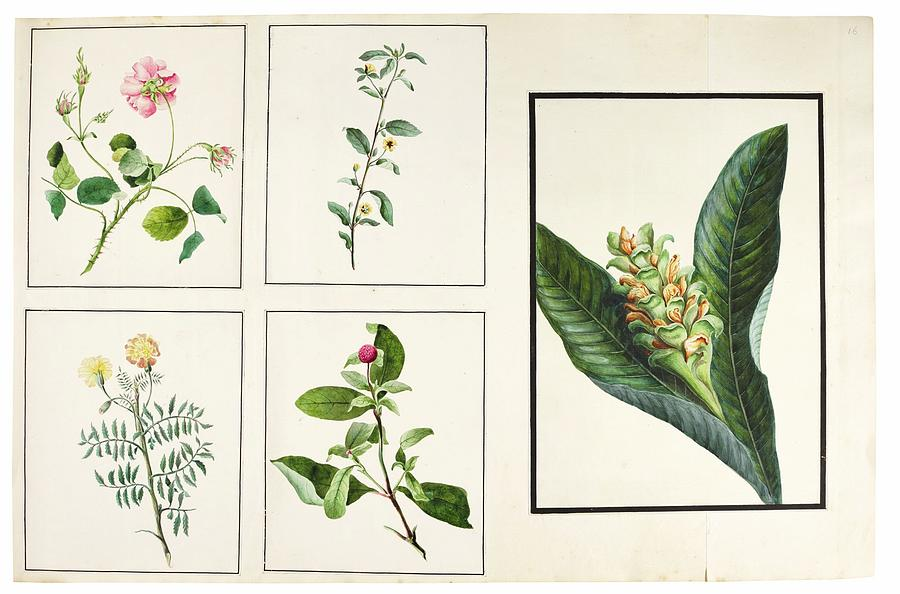Flower Painting - fauna and flora studies, India, Murshidabad, Company School, late 18th early 19th century 4 by Celestial Images