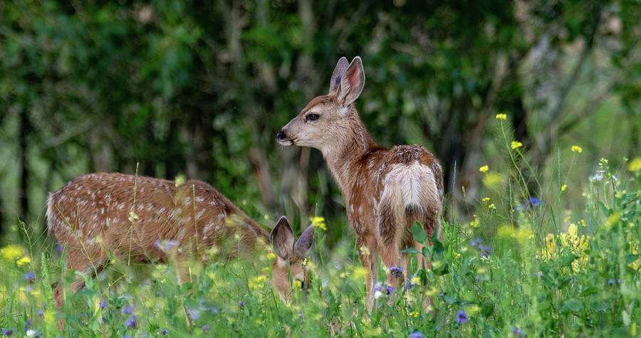Fawns and Flowers by Marcy Wielfaert