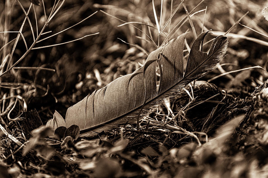Feather of one 3 Sepia by Jason Hughes