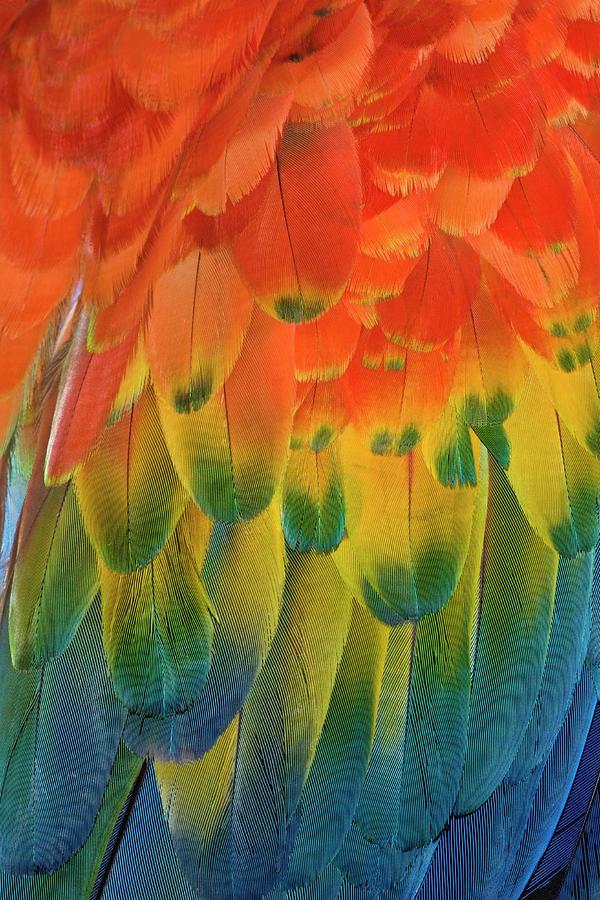 Macaw Photograph - Feather Pattern, Scarlet Macaw by Adam Jones