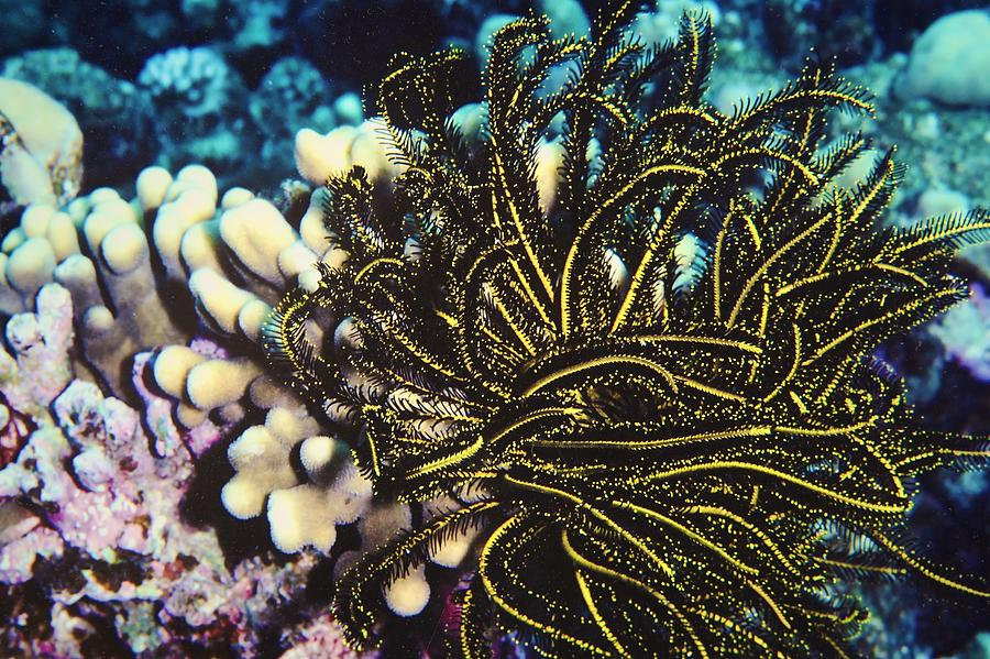 Feather Star Photograph