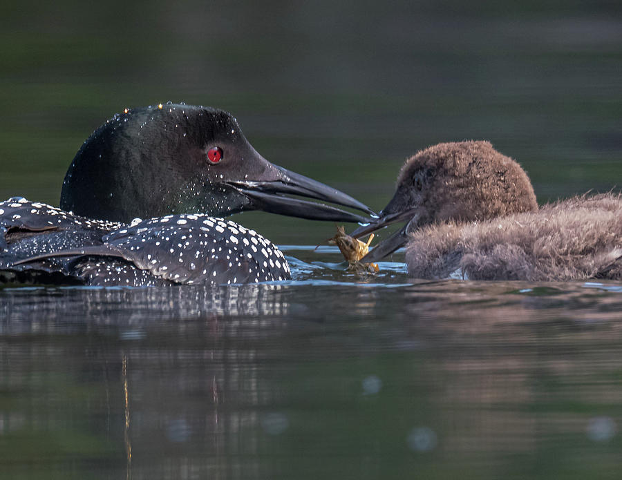 Feeding Time for Baby Loon by Darryl Hendricks