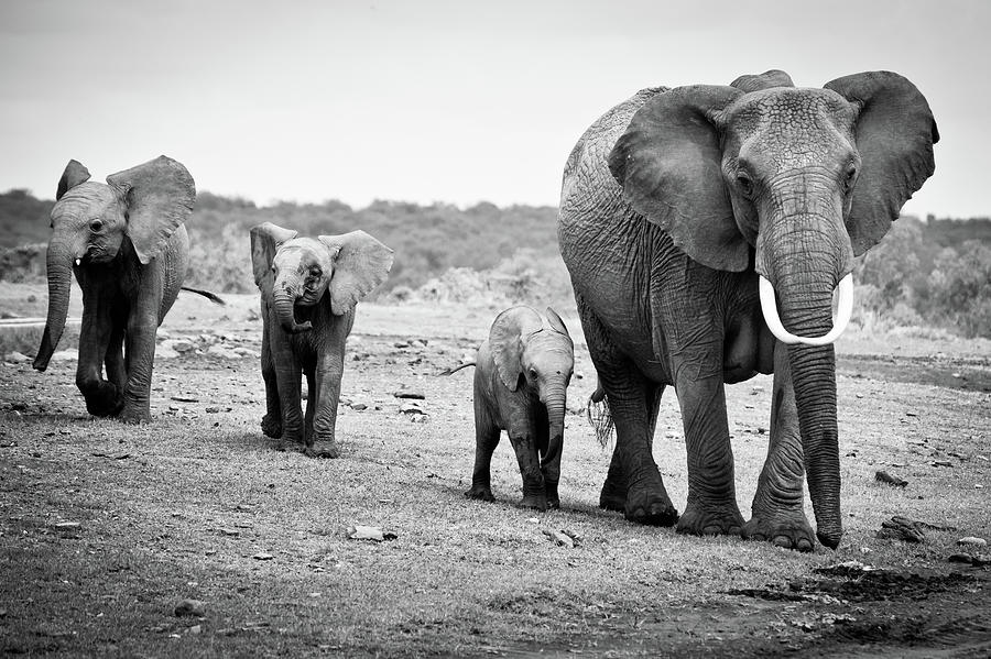 Female African Elephant Photograph by Cedric Favero