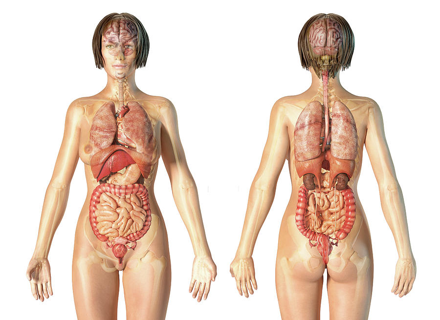 Органы человека со спины в картинках
