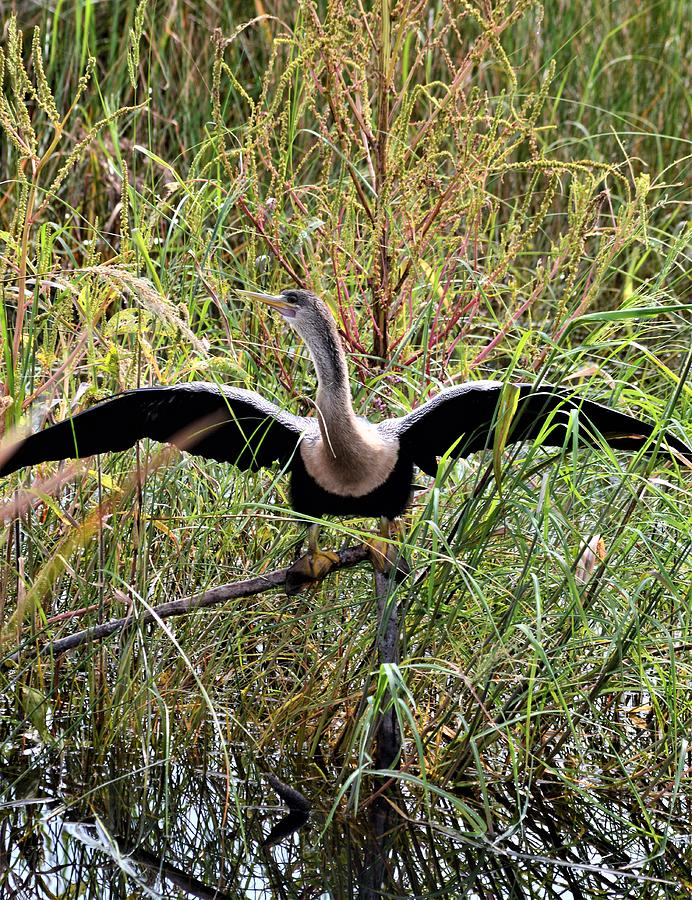 Female Anhinga Drying  by Warren Thompson