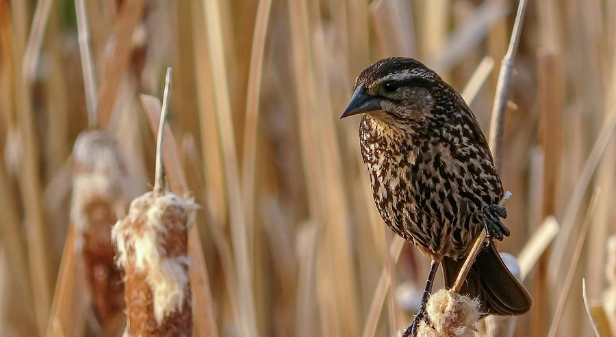 Female Black Bird in the Bulrushes by Philip Rispin