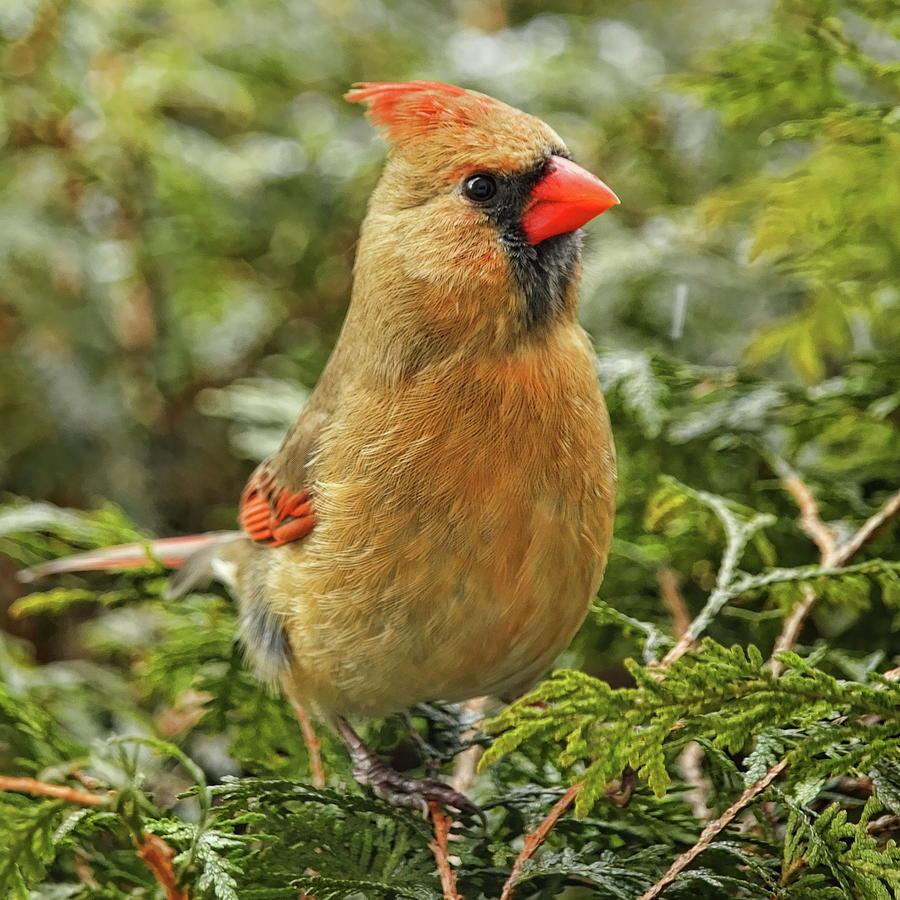 Female Cardinal On Cedar by Dale Kauzlaric