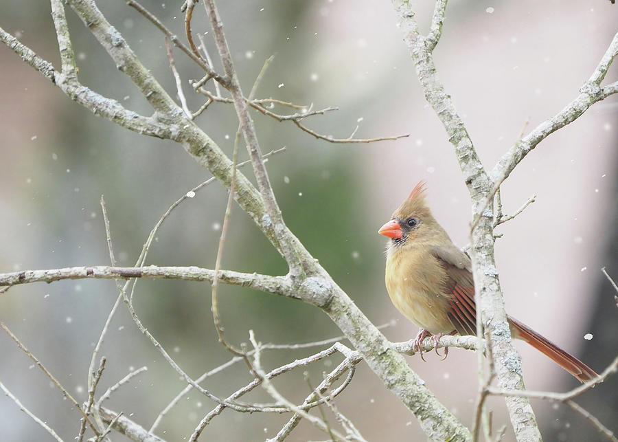 Female Cardinal winter scene by Denise Beverly